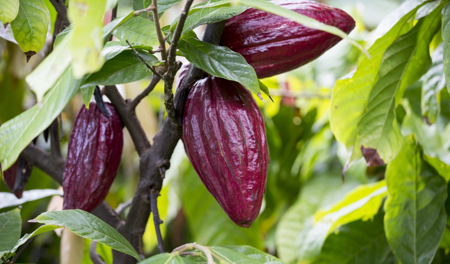 The ripening cacao cocoa bean, used to make chocolate.