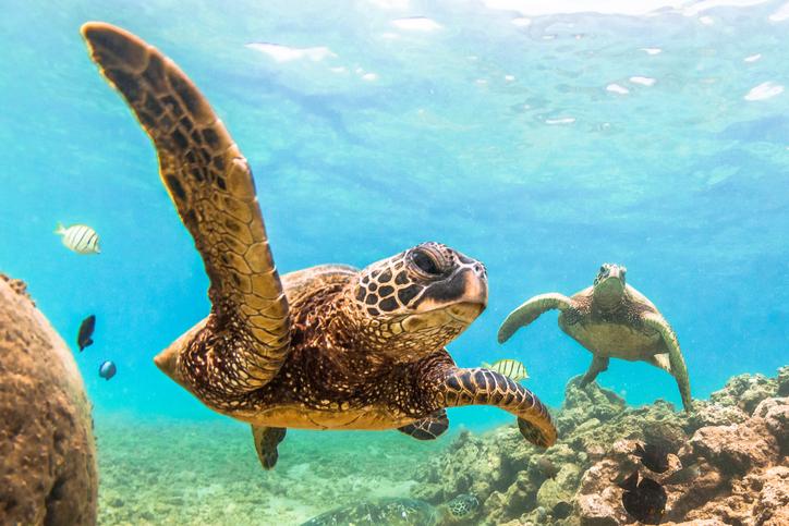 A Hawaiian Green Sea Turtle cruises in the warm waters of the Pacific Ocean of Hawaii